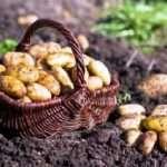 Правила посадки картоплі для отримання хорошого врожаю