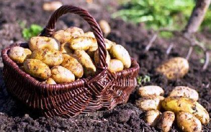 правильно садити картоплю