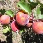 Хвороби та шкідники абрикоса і боротьба з ними, фото