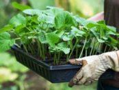 Коли садити огірки у відкритий ґрунт за місячним календарем в 2017 році