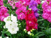 Матіола: вирощування, посадка та догляд у відкритому ґрунті