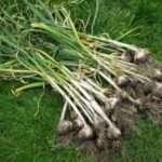 Що садити після цибулі та часнику на наступний рік?