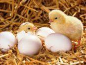 Як визначити стать курчати - перевірені способи