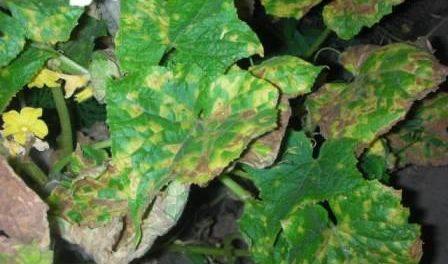 жовтіє листя огірків