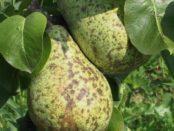 Поширені хвороби груші та боротьба з ними