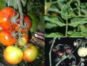 Хвороби помідорів у теплиці та боротьба з ними