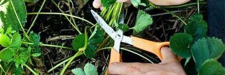 Обрізка полуниці на зиму: Як і коли обрізати листя клубніки
