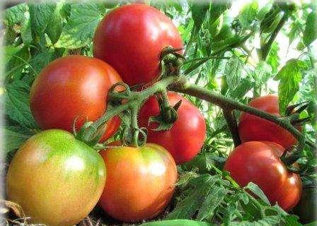 tomat-lyana-4