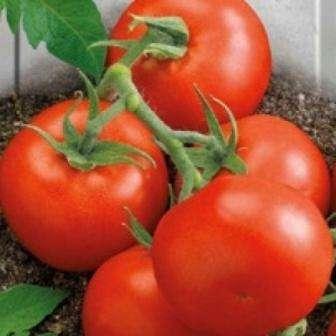 tomat-lyana-7