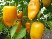 Особливості збору врожаю перцю у відкритому ґрунті