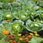 Як і коли збирати білокачанну капусту?