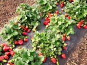 Як підготувати полуницю до зими -обробка,підгодівля, догляд + відео