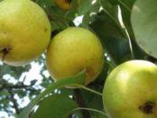 Як сушити груші в духовці і зберігати на зиму в домашніх умовах