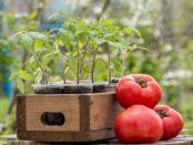 Коли висаджувати помідори на розсаду в 2018 році