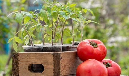 Коли висаджувати томати на розсаду в 2018 році