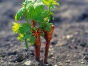 Вирощування винограду живцями на зиму в домашніх умовах