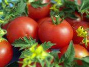 Як вибрати найурожайніше насіння помідорів в 2018 році?