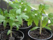 Посадка розсади помідор - особливості розведення томатів