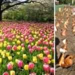 Коли і як садити тюльпани навесні. Підготовка до посадки цибулин