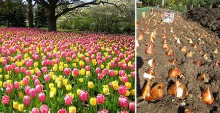 Коли садити тюльпани для отримання гарних сходів квітів