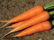 Найкращі сорти моркви з фото та описом