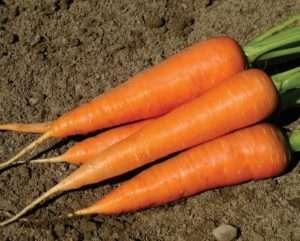 Солодкі сорти моркви для вирощування на городі