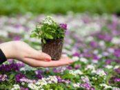 Розсада квітів – вирощування в домашніх умовах
