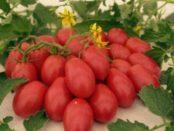 Томат Чіо-чіо-сан: фото, відгуки, поради щодо вирощування