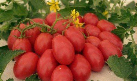 Як вирощувати томат Чіо-чіо-сан: корисні поради, відгуки та фото