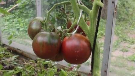 Сорт помідорів «Циган»