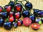 Найкращі сорти чорних помідорів з описом та фото для вирощування у відкритому грунті
