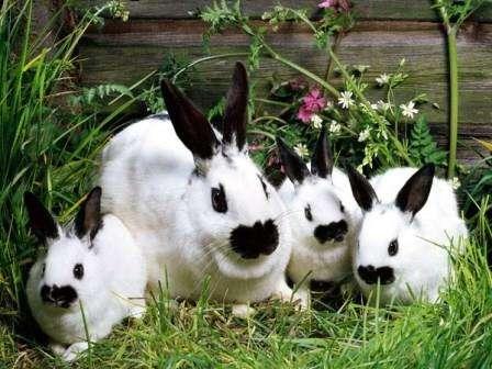 Кролівництво: Розведення кролів в домашніх умовах, у вольєрах. Існуючі породи кролів