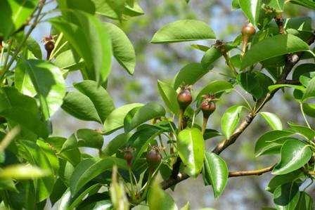 Як доглядати за плодовими деревами та чагарниками в червні