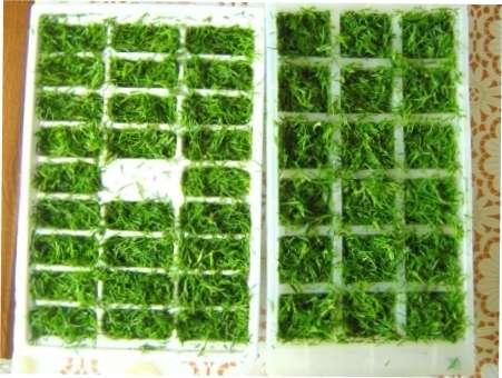 Заморожені кубики з кропу для зберігання на зиму