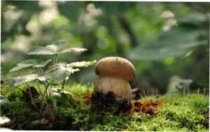 Білі їстівні гриби та їх види