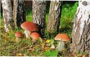Березові білі їстівні гриби: опис зовнішнього вигляду з фото