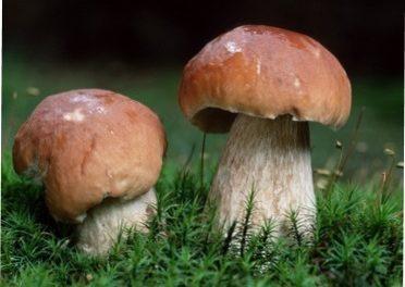Білі їстівні гриби з детальним описом, характеристикою та фото: Як розпізнати білі гриби