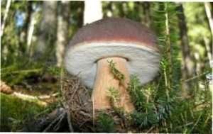 Ялинові білі їстівні гриби (Boletus edulis f. Edulis) з фото і описом