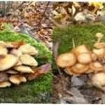 Відрізняємо їстівні і отруйні опеньки: характеристика, опис та види з фото