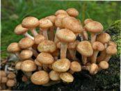 Їстівні гриби опеньки: характеристика, опис та види з фото