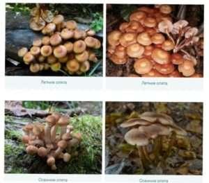 Сезонні їстівні опеньки: фото і опис їх видів