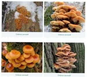 Сезонні гриби опеньки