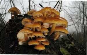 Опеньок зимовий (Flammulina velutipes)