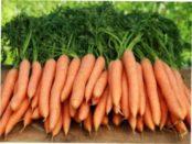 Кращі сорти моркви на 2018 рік для зберігання взимку