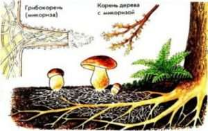 Симбіоз грибів з корінням вищих рослин