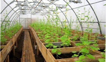Теплиця для вирощування огірків круглий рік як бізнес  опис з фото ... d3b461a6b1d4a