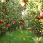 Коли і як садити яблуні навесні у відкритий ґрунт: підготовка ями до висадки саджанця