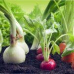 Ущільнені посадки овочів в теплиці і на городі: схеми і секрети посадок