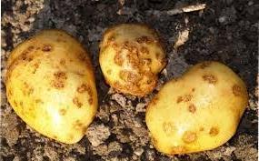 картопля в землі покривається глибокими тріщинами