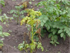 картопляна нематода